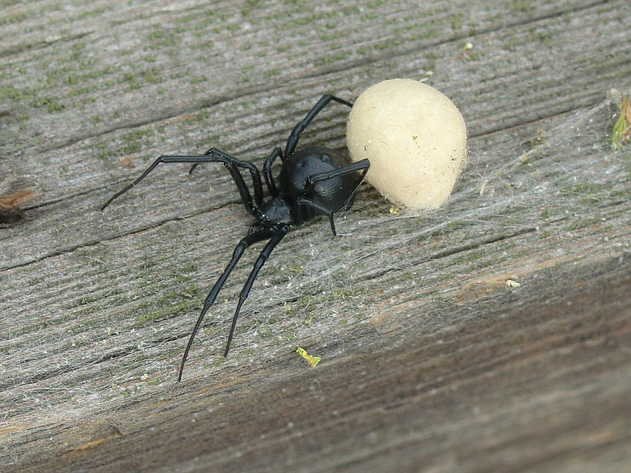 Albino Black Widow Spider