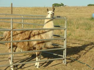 Llama Pongo - young stud want-to-be